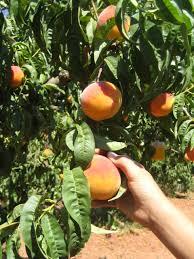 Borsa de treball per a recollida de fruita 2020